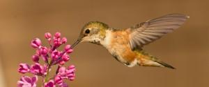 Un colibri pourvoyeur d'une leçon de bonheur
